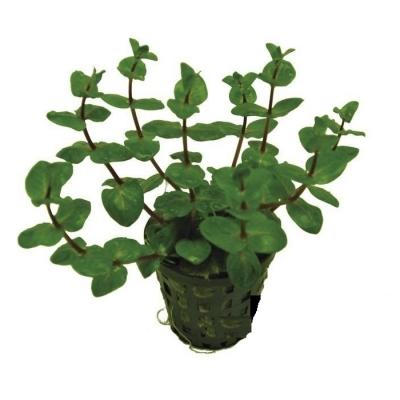 rotala macrandra green aquadecro